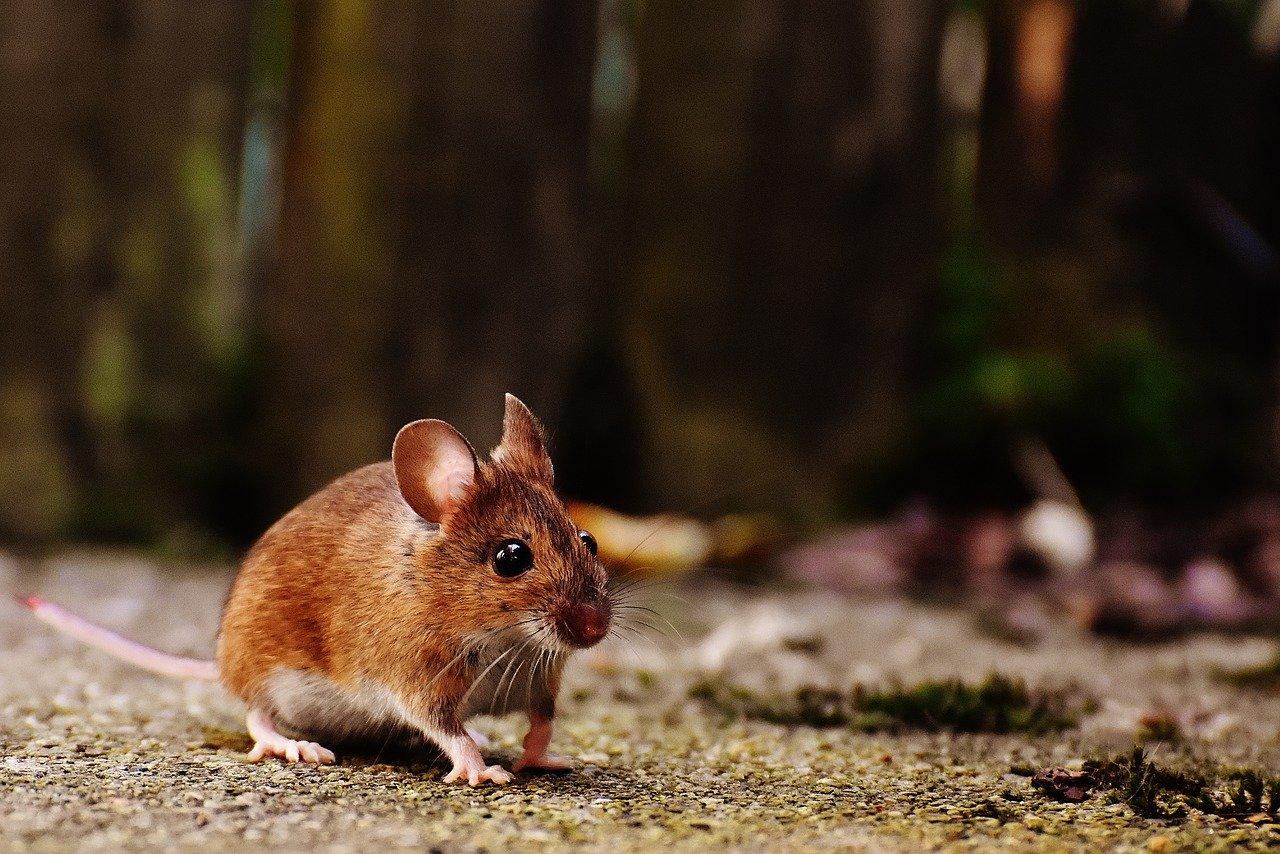 Souris Dans Les Murs Comment Faire comment éviter les souris dans une ferme ? (élevage de
